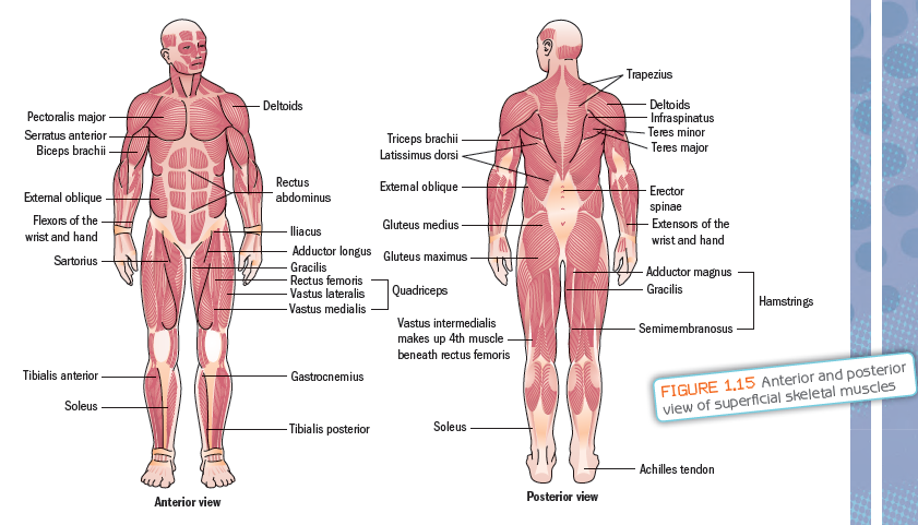 Muscular System My Site